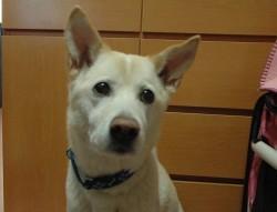 優良家庭犬普及協会のGCTテストに合格した12歳の「マミ」