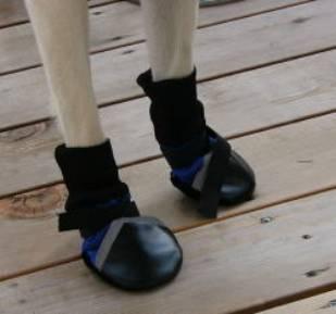 ラブラドールレトリバー「RUN」ちゃんの初ブーツ
